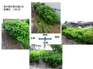 家の廻りの紫陽花.jpg